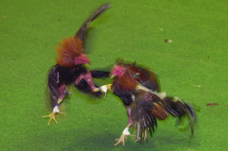 Far and Wide: Gamefowl breeders: Give us back our cockfights